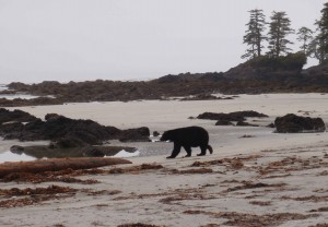 Bear_at_Cape-Scott-20120724
